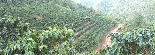 coffee_plantation2